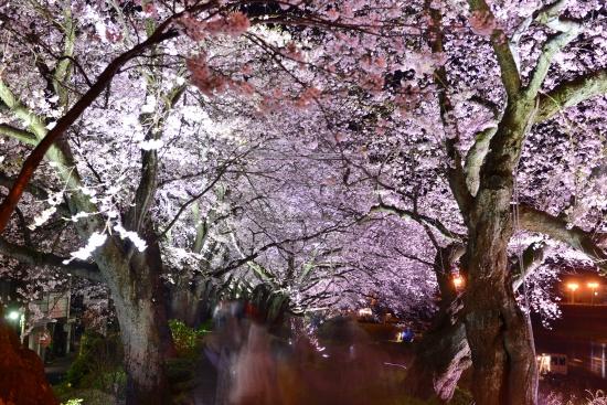 一眼レフで撮った桜並木