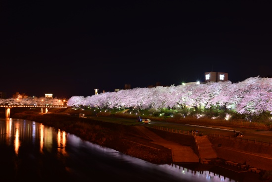 足羽川堤防の桜並木