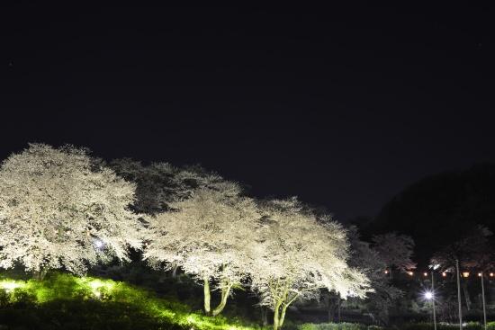西山公園 さくらライトアップ