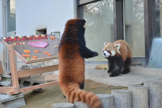 西山動物園のレッサーパンダ