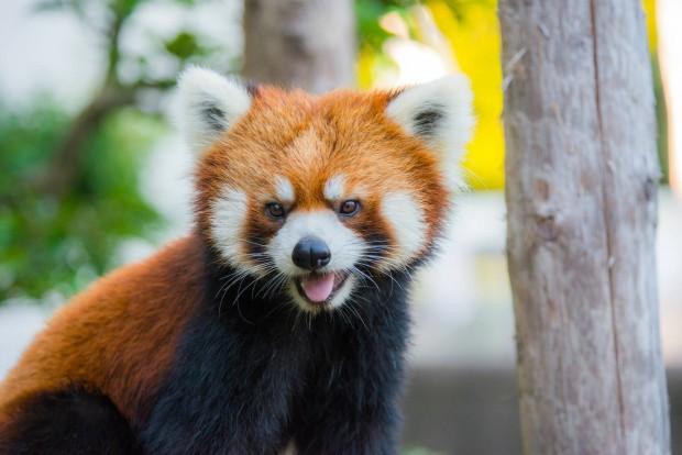 西山動物園は無料でレッサーパンダを見られる