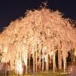 足羽神社のしだれ桜 ライトアップ