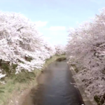 味真野小学校の桜と吉野瀬川の桜を空撮